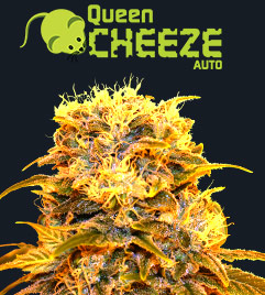 Queen Cheeze Auto