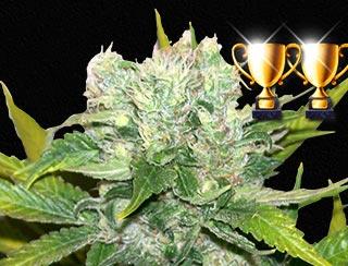 semilla de marihuana - NL Apolo G13