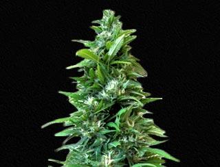 semilla de marihuana - strike