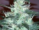 semilla de marihuana - big jack