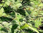 semilla de marihuana - borealis