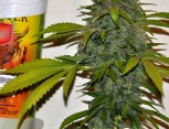 semilla de marihuana - mexicativa