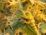 semilla de marihuana - rocket