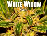 semilla de marihuana - white widow