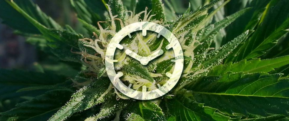 cultivo semillas autofloracion